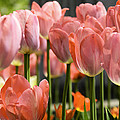 Caring Pink Tulip Time by LeeAnn McLaneGoetz McLaneGoetzStudioLLCcom