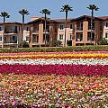Carlsbad Flower Fields by Nathan Rupert
