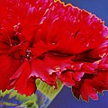 Carnation Carnation by Carol Lynch