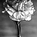 Carnation by Pravine Chester