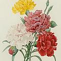 Carnations From Choix Des Plus Belles Fleures by Pierre Joseph Redoute