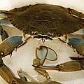 Carolina Blue Crab by Marilyn Hunt