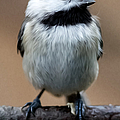Carolina Chickadee by John Haldane