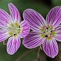 Carolina Spring Beauty Duo by Doris Potter