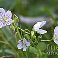 Carolina Spring Beauty - Wide-leaved Spring Beauty - Claytonia Caroliniana by Mother Nature