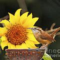 Carolina Wren And Sunflowers by Luana K Perez