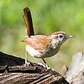 Carolina Wren by John Harmon
