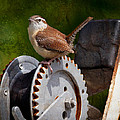 Carolina Wren by Melinda Fawver