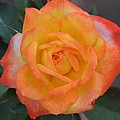 Caroty Splendor - Rose by Maria Urso