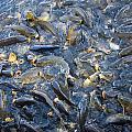 Carp Feeding Frenzy 2 by Chris Flees