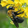 Carpenter Bee by Lizi Beard-Ward
