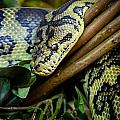 Carpet Python  by Mark Llewellyn