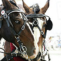 Carriage Horse - 3 by Linda Shafer