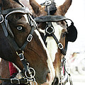 Carriage Horse - 4 by Linda Shafer