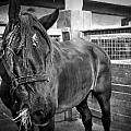 Carriage Horse by Valerie Mellema