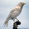 Carrion Crow, Mounted Albino Specimen by Science Photo Library