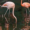 Cartoon - A Flamingo With Its Head Under Water In The Jurong Bird Park by Ashish Agarwal