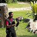 Cartoon - A Trainer And A Large Bird Of Prey At A Show Inside The Jurong Bird Park by Ashish Agarwal