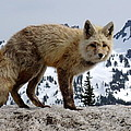 Cascade Red Fox 1 by Peter Mooyman