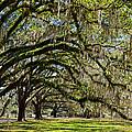 Cascading Oaks by Carla Parris