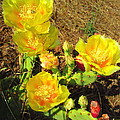 Cascading Prickly Pear Blossoms by Joyce Dickens