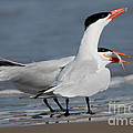 Caspian Tern Giving Fish To Mate by Anthony Mercieca