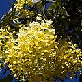 Cassia Fistula - Golden Shower Tree by Sharon Mau