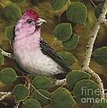 Cassins Finch by Rick Bainbridge