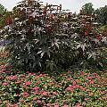 Castor Oil Plant Ricinus Communis by Jason O Watson