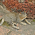 Cat At Wat Mahathat In 13th Century Sukhothai Historical Park-th by Ruth Hager