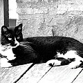 Cat Black And White by Dwight Cook