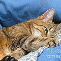 Cat Nap by Lingfai Leung
