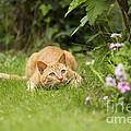 Cat Watching Prey by Jean-Michel Labat