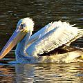 Catahoula Pelican by Kimo Fernandez