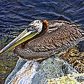 Catalina Pelican by Tommy Anderson