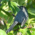 Catbird by Charles Ford