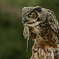 Catch Of The Day - Great Horned Owl  by Inspired Nature Photography Fine Art Photography