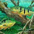 Catching Peacock Bass - Pavon by Terry Fox