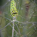 Caterpillar On Fennel In The Morning Dew by Jennifer Rice