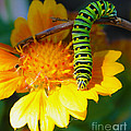 Caterpillar On The Prowl by Nina Silver