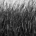 Cattail Reed Background by Donald  Erickson