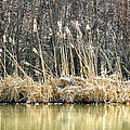 Cattail Reflections by Shelissa Dawn Savage