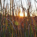 Cattails And Reeds - West Virginia by Paulette B Wright