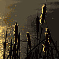Cattails At Sunset by Kenny Glotfelty