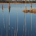 Cattails Cape May Point Nj by Eric  Schiabor