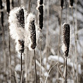 Cattails In Winter by Elena Elisseeva