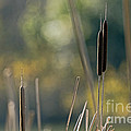 Cattails by Kate Brown