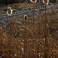 Cattails by Kirk Griffith