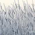 Cattails Typha Latifolia Covered In Snow by Ron Sanford
