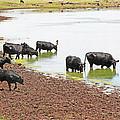 Cattle At Big Lake Arizona by Tom Janca